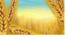 Пшеница 3-4 класс, ячмень, зерновые культуры