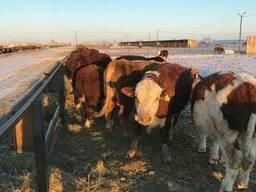 КРС, Бычки, мясо, мал, говядина - фото 4