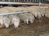 Овцы, ягнята жывой вес - photo 5