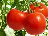 Pomidor - фото 2