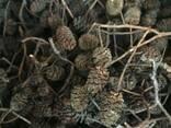 Шишки ольховые, ольха соплодия, ольха, шишки ольхи - фото 3