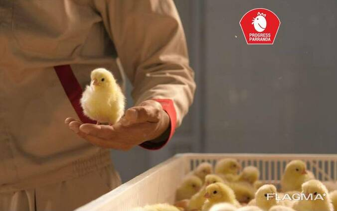 Суточные / Однодневные цыплята несушки на экспорт